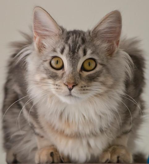 Darhling (Tenth Life cat)