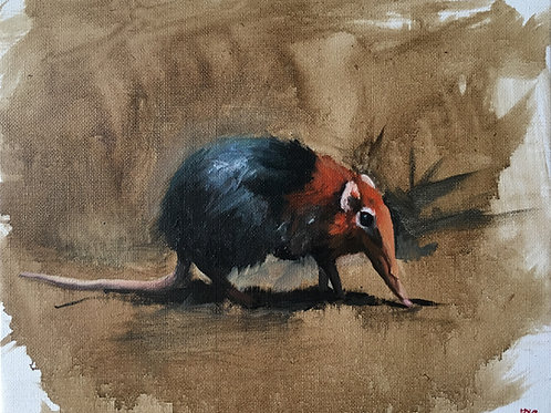 The elephant shrew a small large hero