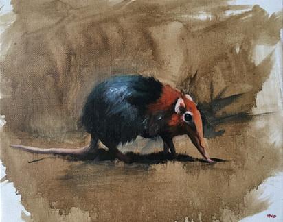 the elephent shrew
