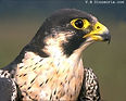 faucon-pelerin.jpg