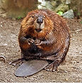 290px-American_Beaver.jpg