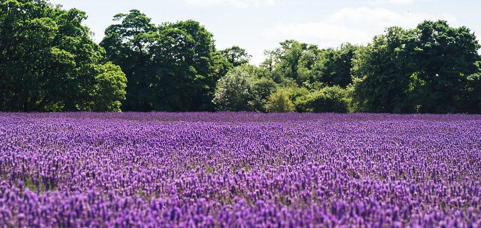 purple-field-crop-e1565539623316[1].jpg