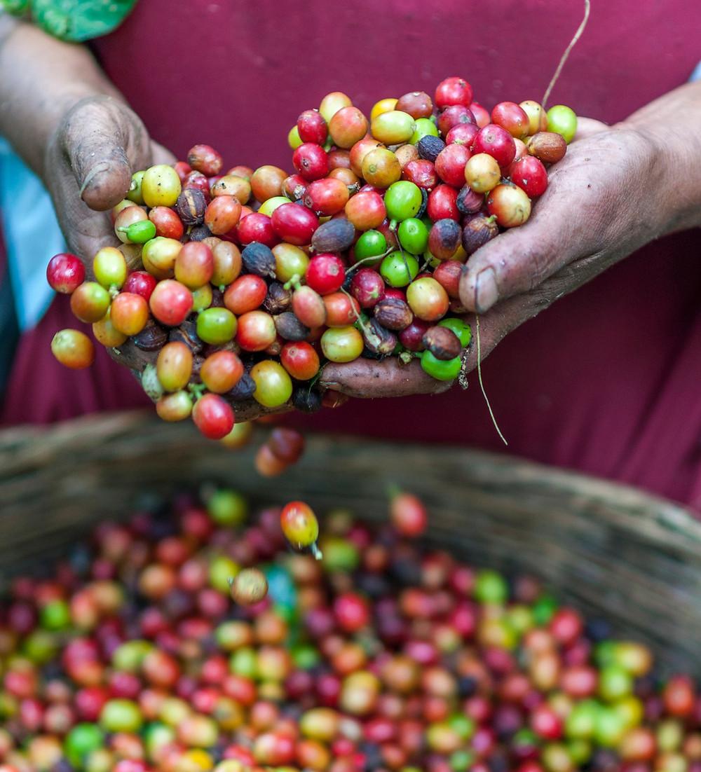 owoce kawowca po zbiorze