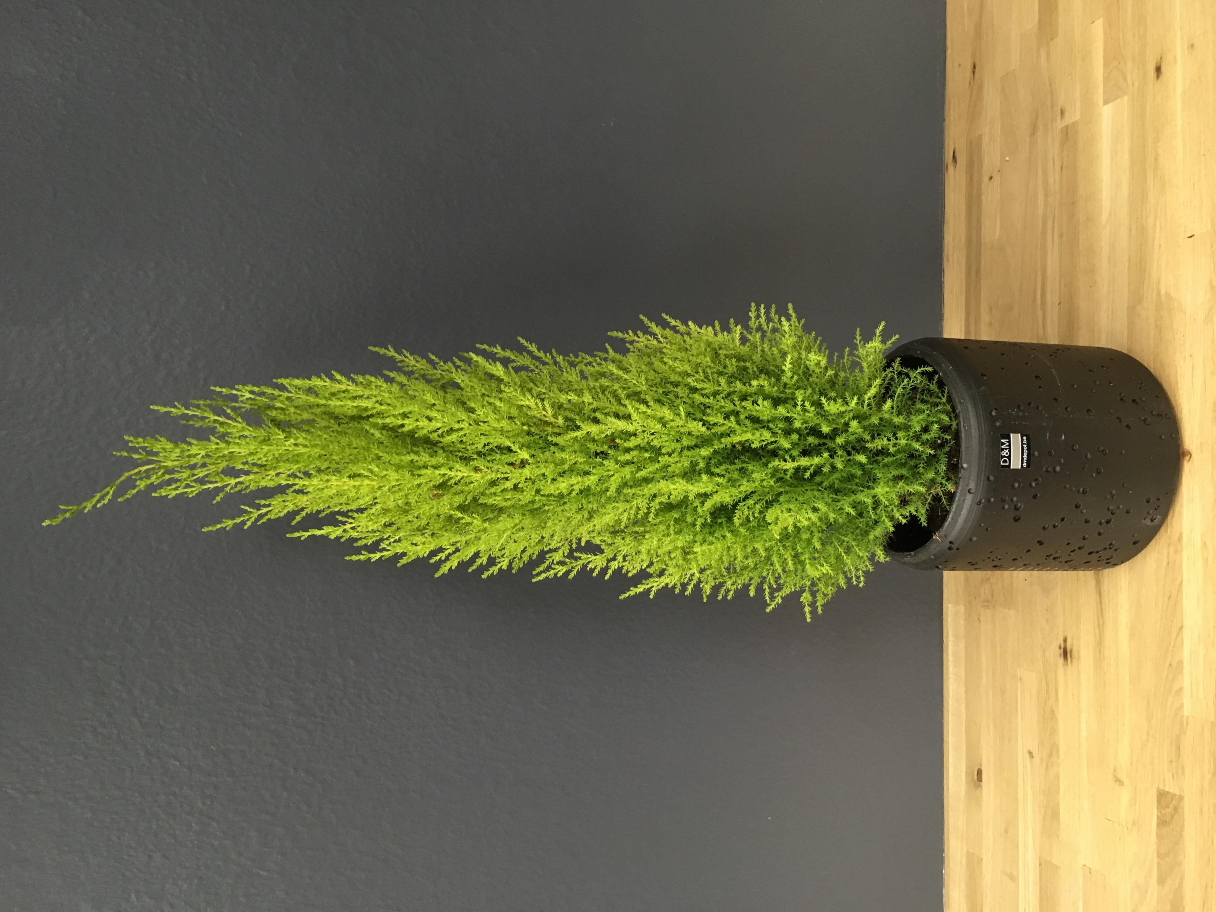 Cupressus macrocarpa elwoodi