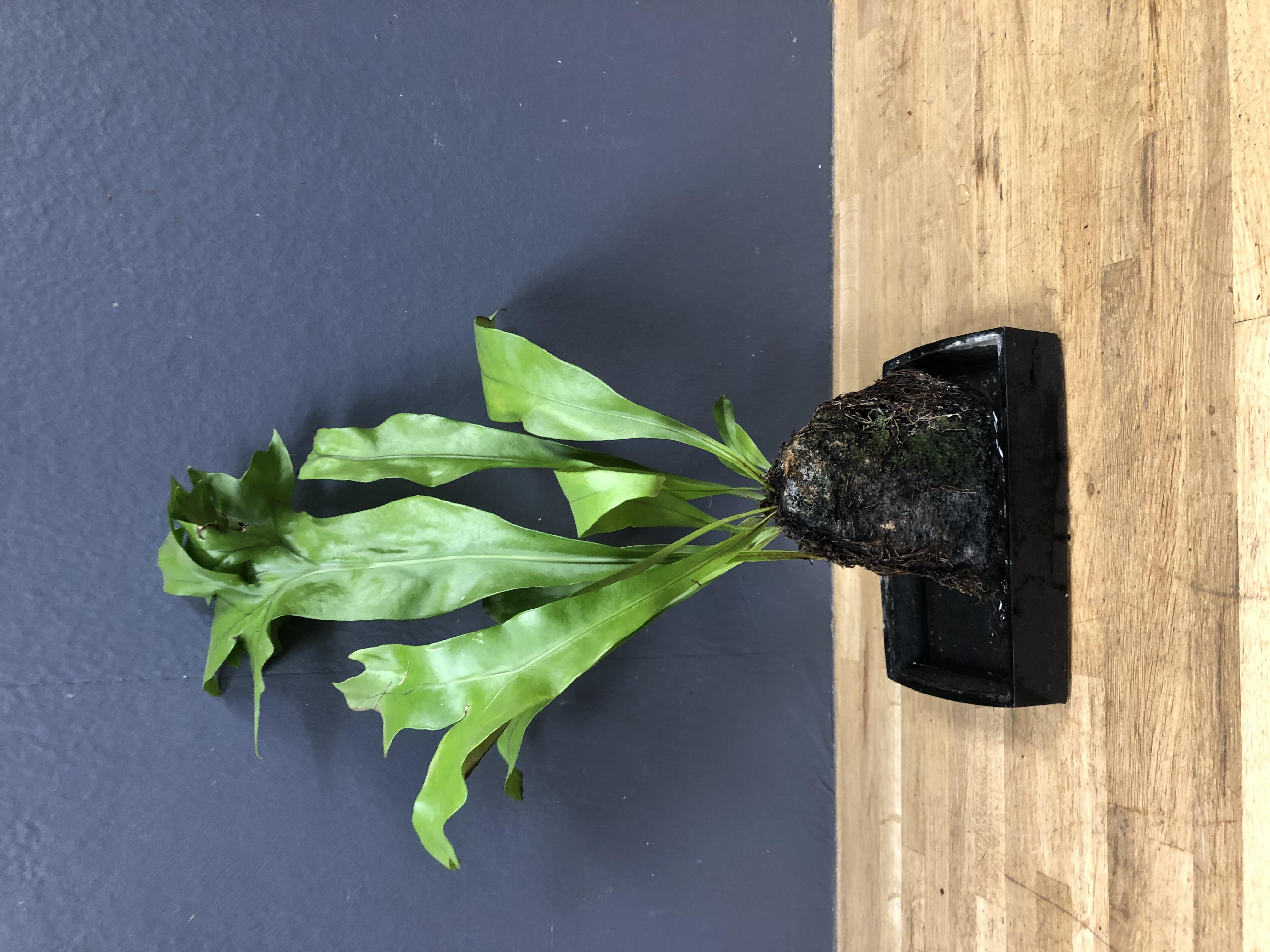 Plante sur pierre de lave