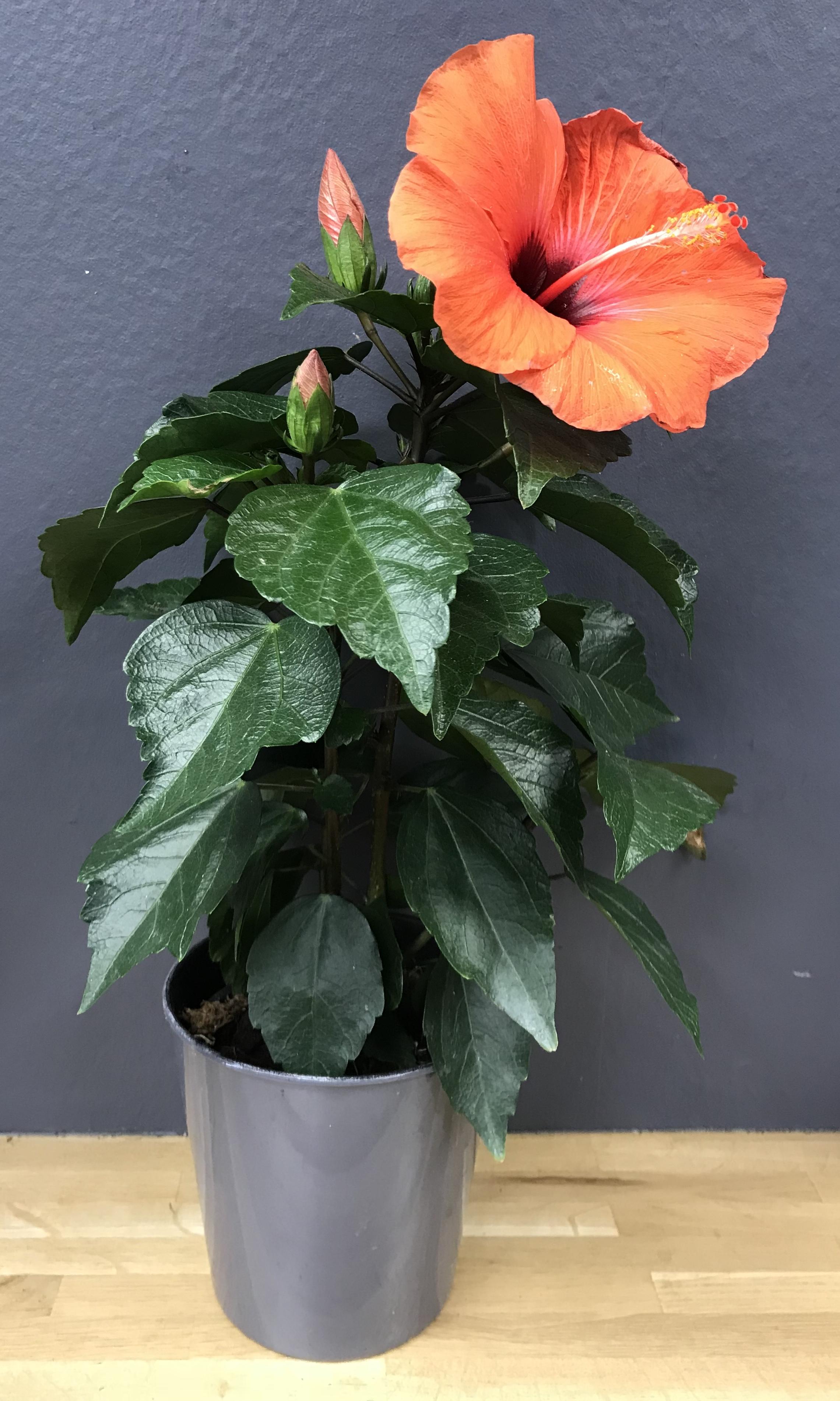 Hibiscus orarius