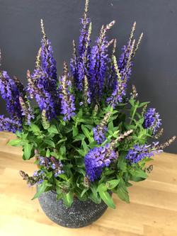 Salvia nemorosa (sauge)