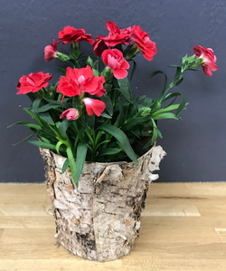 Dianthus caryophyllus (oeillet)
