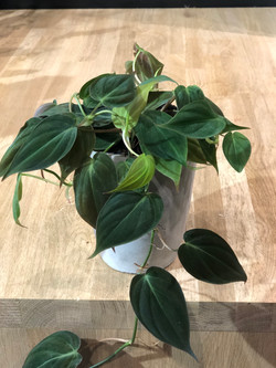 "Philodendron ""Scandens micans"""