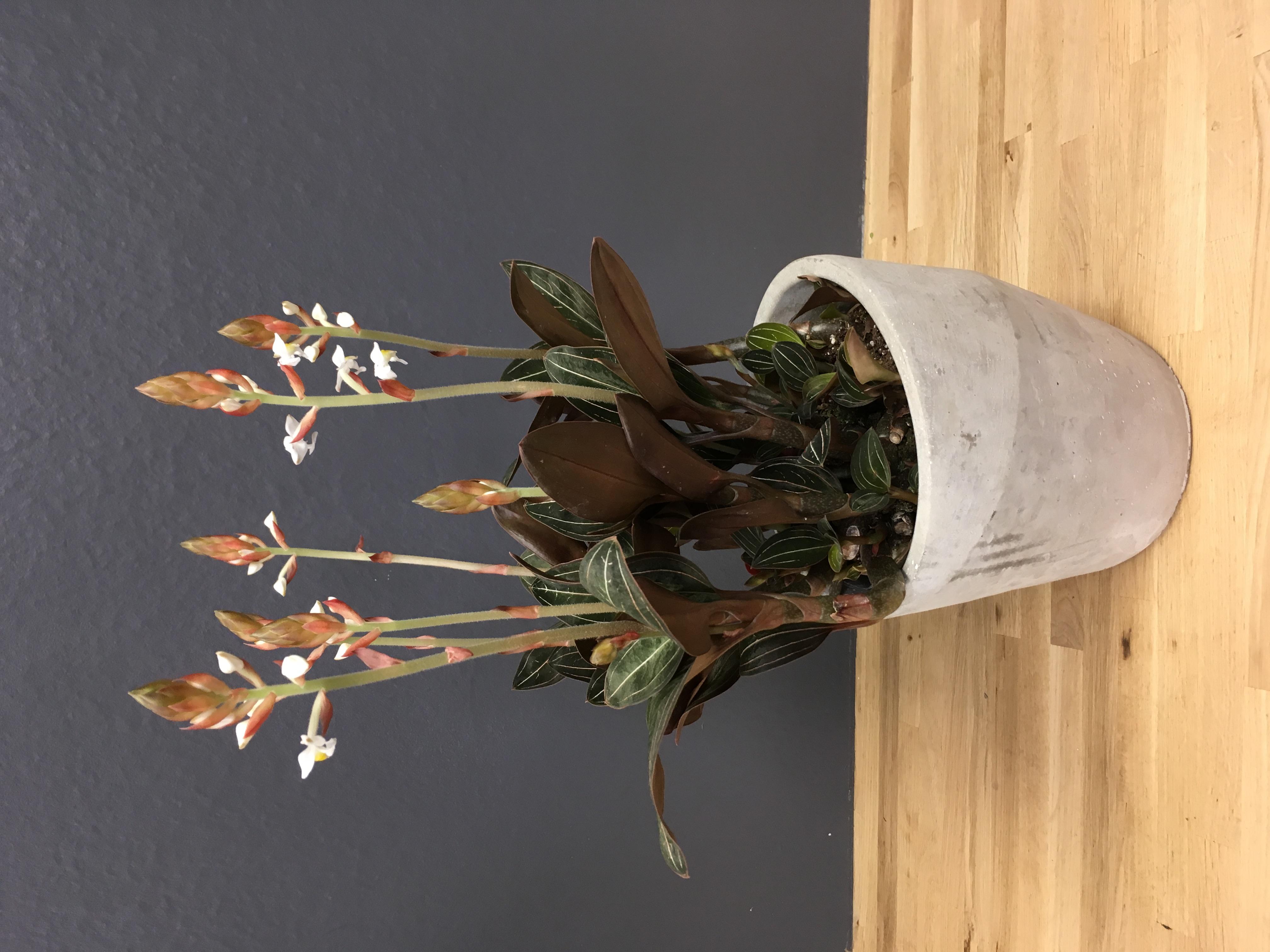 "Ludisia ""orchidée bijou"""