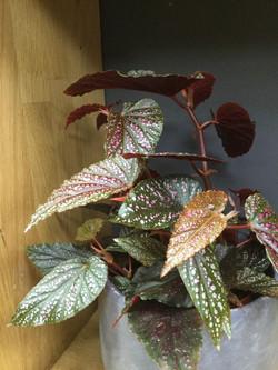 """Begonia Polka """"pink dot"""""""