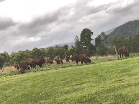 Buffalo vs. Bison