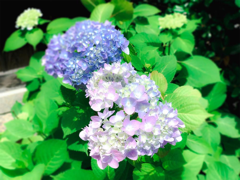 出雲大神宮 岡山 神社 地鎮祭 境内 紫陽花