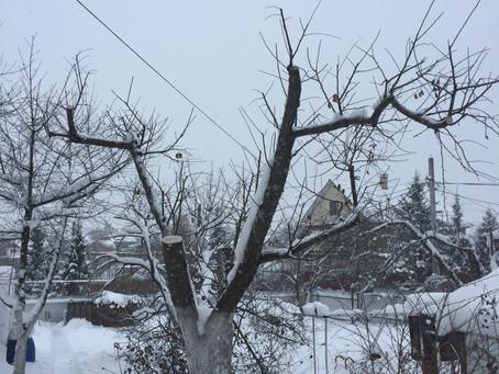Омоложение плодовых  деревьев  зимой.