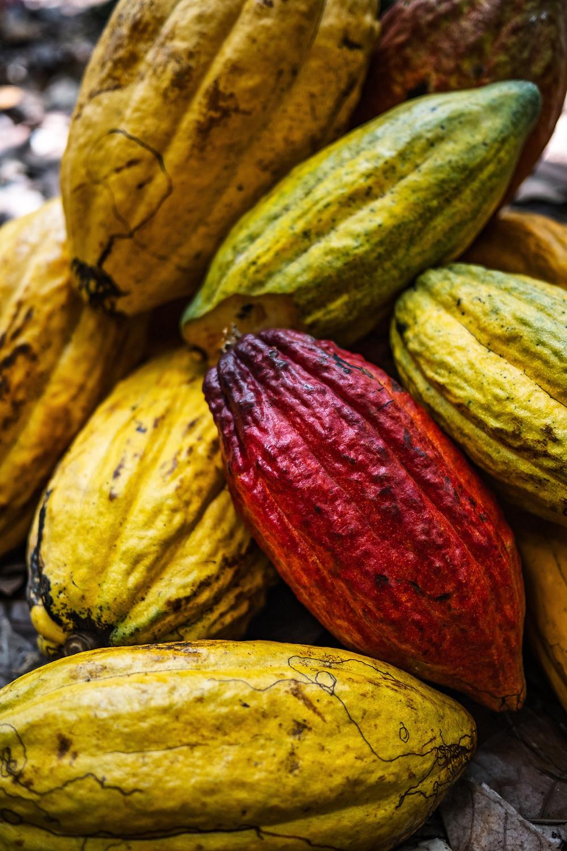 Auf der Kakao-Plantage Kahkow:Spätestens wenn gezeigt wird, wie aus einer Kakaobohne die uns bekannte Schokolade wird, fragt man sich, wie man auf die Idee gekommen ist, die Kakaobohne in dieser Weise weiterzuverarbeiten.