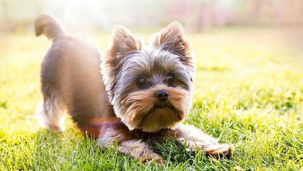 yorkie-puppy-cut-hairstyle.jpg