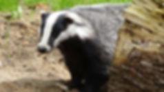 badger-44202_1920.jpg