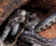 Juvenile Python natalensis