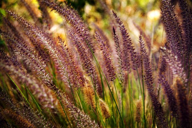 CALIFORNIA GRASSES