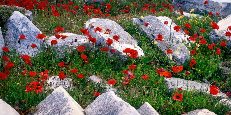 POPPIES AMONG THE RUINS - DELOS ISLAND