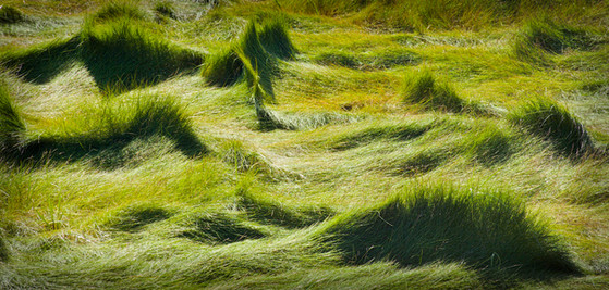 GRASS WAVES - SALT MARSH TRAIL, N.S.