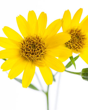 arnica-flower-essence.jpeg