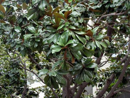 Tree Snobbery, Pt. 2