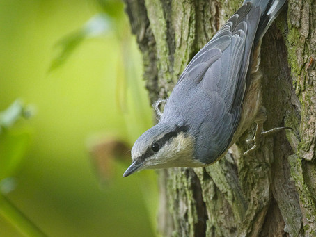 Nutty Nuthatches