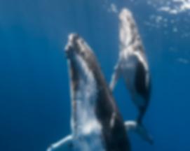 Humpback Whales Las Terrenas.PNG