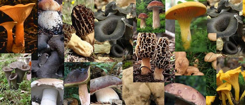 varios_cogumelos_pag1.jpg