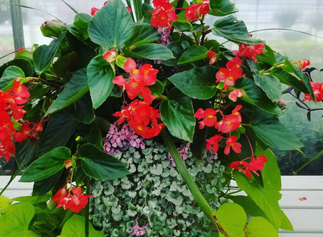 Tips for Droopy Annuals in Late Summer!