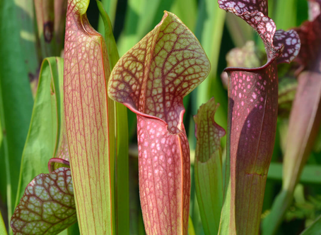 How to Care for Your Carnivorous Plant