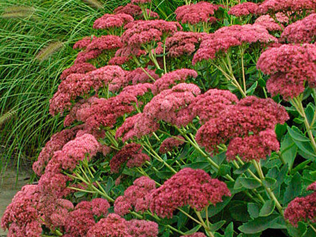 'Autumn Joy' Sedum
