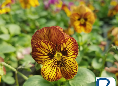 Add Pansies and Violas this Fall
