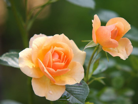 Helpful Tips to Planting Roses