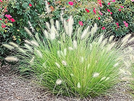 Where to Plant Ornamental Grasses