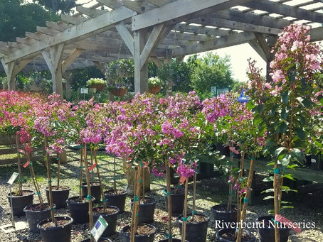 Tree-form Crape Myrtles