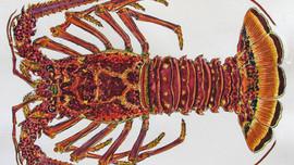 Crawfish Season Bahamas:  Things you should know.