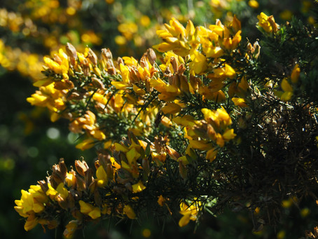 What's with the gorse?
