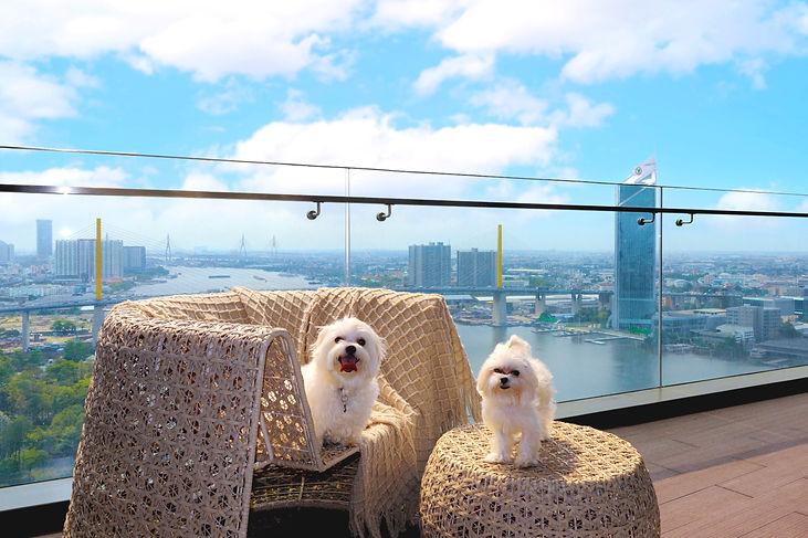 Canapaya Residences, dog friendly condominium, freehold condominium in bangkok, chao phraya river view, dogs, maltese dogs, kasikorn bank, rama 9 bridge, canapaya riverfront
