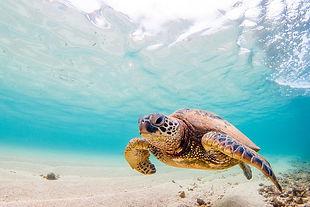 green-sea-turtle_1000_667_75_s_c1_c_b_0_