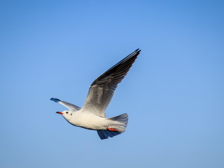 Shooting Seagulls on the Move