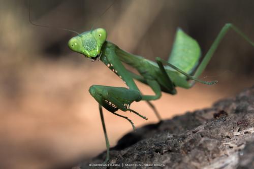 Pray Mantis.jpg