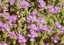 The Scent of Thyme in the Spring in Crete
