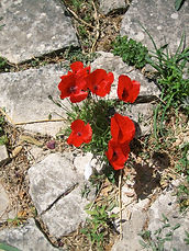 Poppies Goddess Pilgrimage to Crete