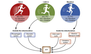 The Importance of Training Energy Systems In Athletes