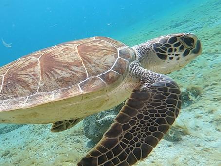 Bonaire Buddies - Sea Turtles