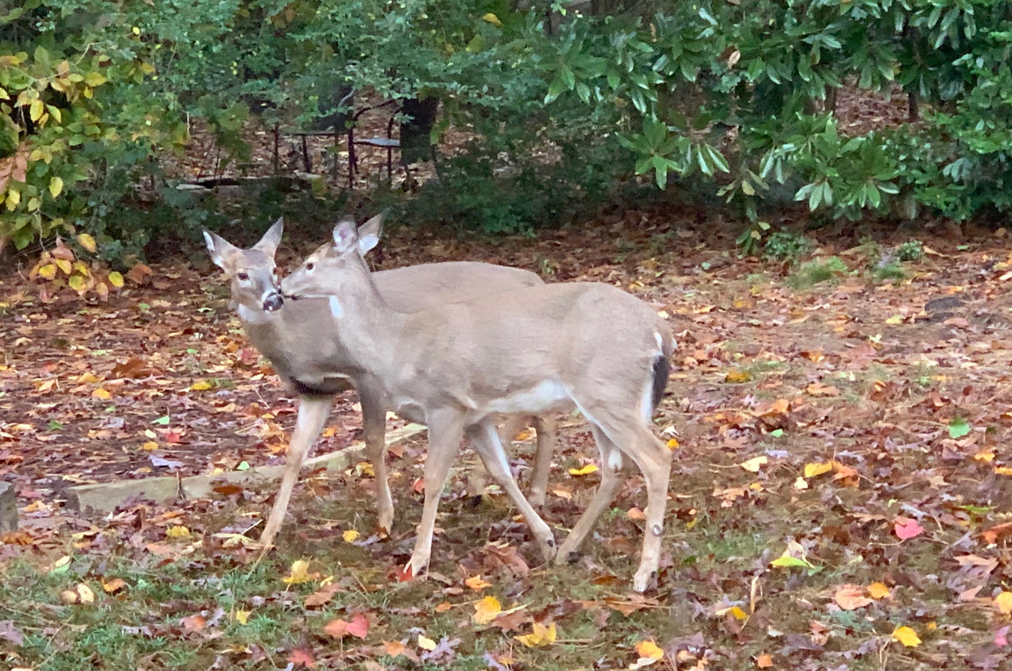 regular deer roaming the woods