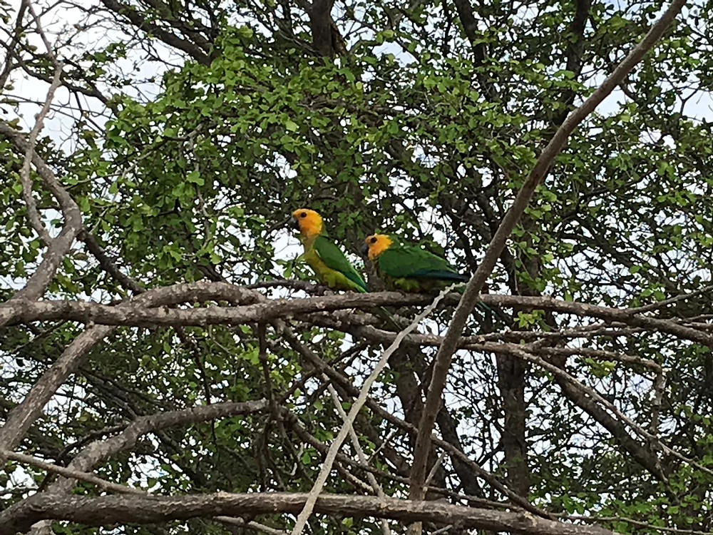 two yellow shouldered parrots on a branch