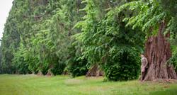 The Giant Sequoias